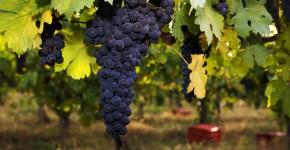 """Produzione vinicola. Bessi: """"Risultato eccezionale per l'Italia e per l'Emilia-Romagna"""""""